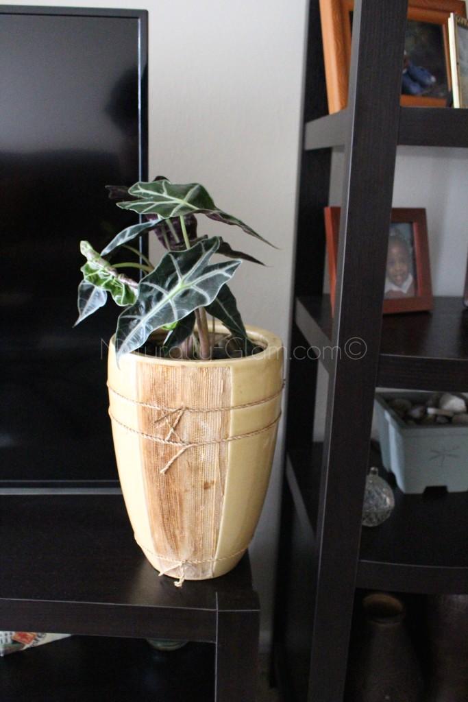 alocasia polly elephant ear in ceramic planter