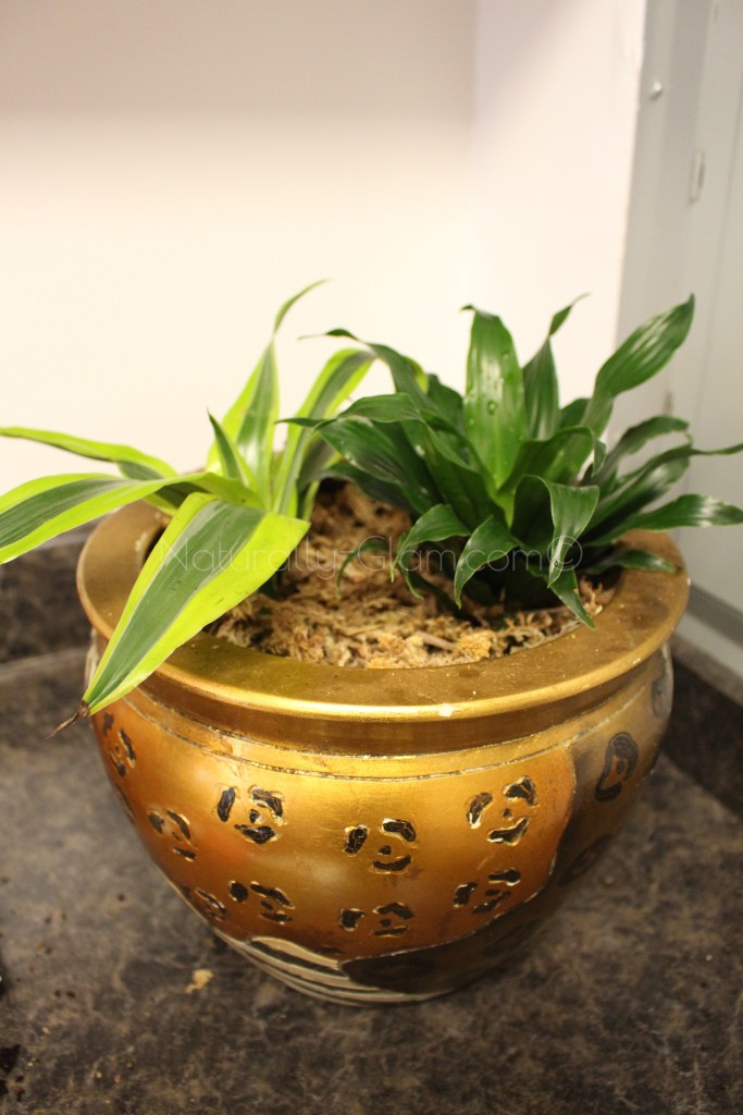 dracaena lemon lime and janet craig compacta in animal print planter