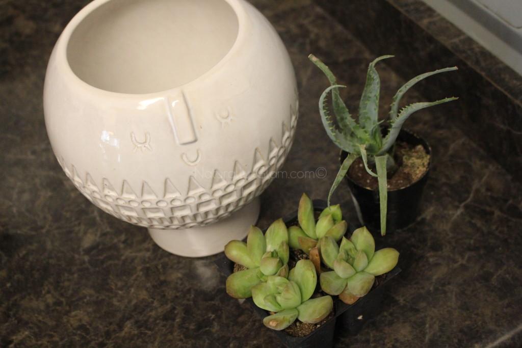aloe vera plant and stonecrop sedum in ceramic planter, succulent container garden